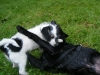 Ryno  als Welpe und Findus als Junghund